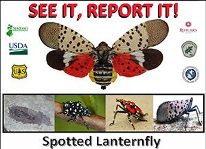 spotted-lanternflyx300